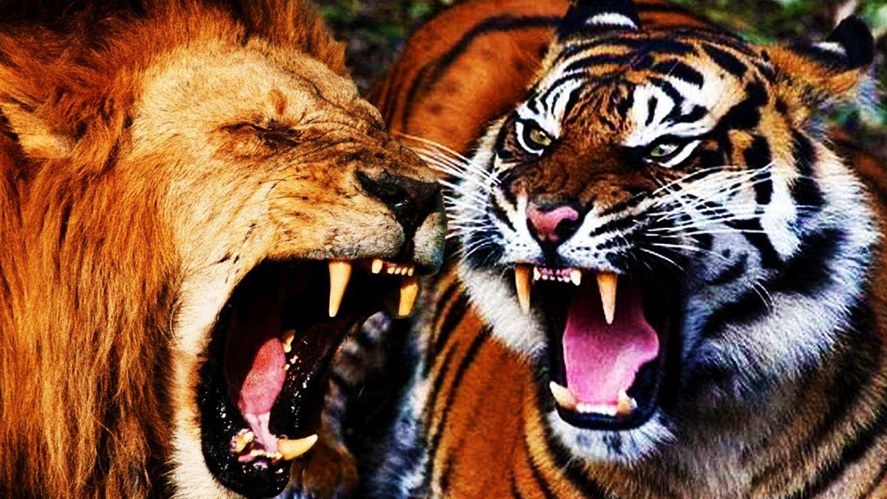 ЛЕВ ПРОТИВ ТИГРА!!! битва льва и тигра! КТО СИЛЬНЕЕ?