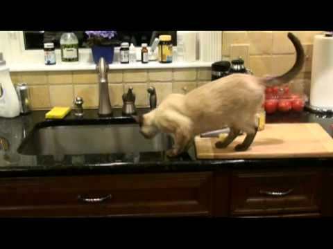 Tonkinese Cat, Mia,  Won't Stay Off The Counter
