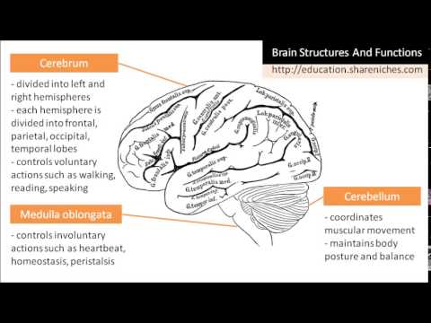 Diagram | Brain Structures and Functions - Cerebrum, Cerebellum ...