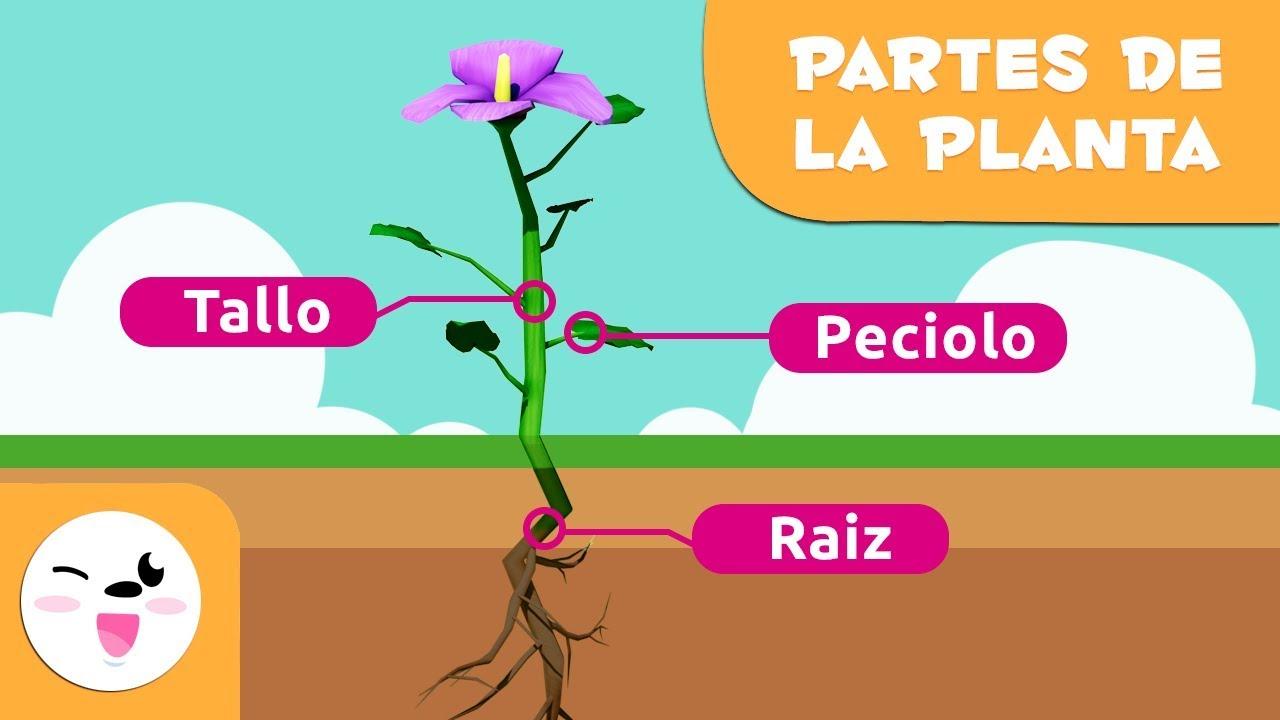 La planta y sus partes para ni os ciencias naturales for Cuales son las partes de un arbol