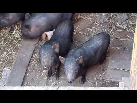 Как содержать вьетнамских свиней в домашних условиях