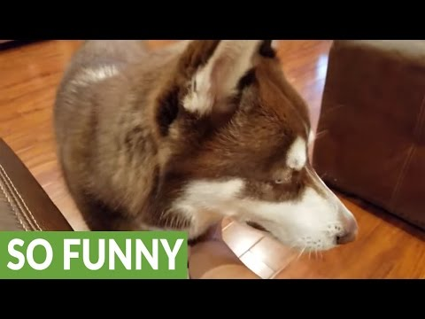 Cute husky demands chest rubs from owner