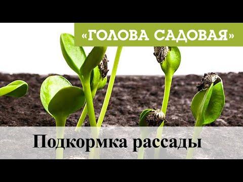 Голова садовая - Подкормка рассады