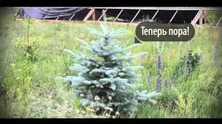 видео Живая изгородь из ели обыкновенной, схема посадки