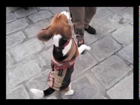 Dog with the Bone (AWESOME) Beagle Music Video