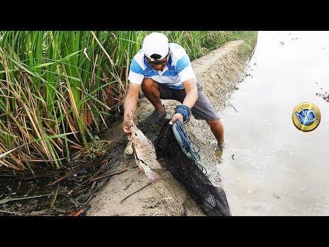 Pescando solo tilapias Grandes
