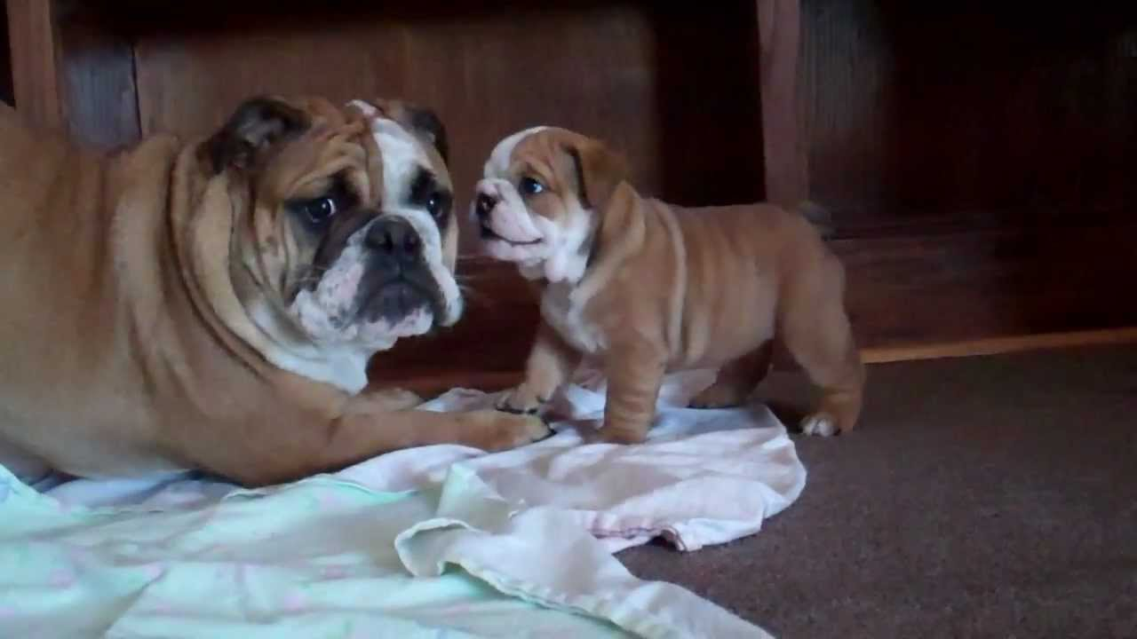 5 Week Old English Bulldog Puppy Barking At 7 Month Old Youtube