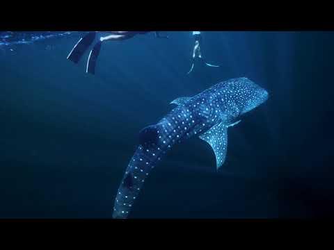 Whale Shark in Brunei's Water December 2020
