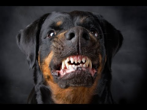 top 11 dangerous dog breeds in the world