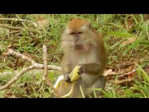 Feeding the monkeys with bananas