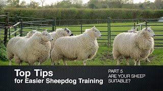 Top Tips for Sheepdog Training (Part 5) Are Your Sheep Suitable?