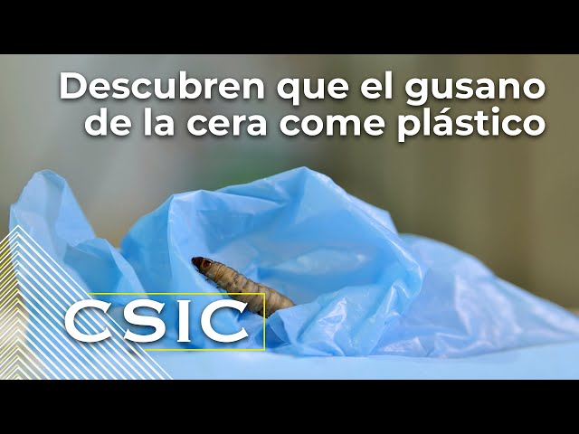 Descubren que el gusano de la cera come plástico