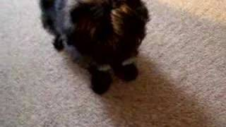 Cairn Terrier - Nikki Speaks!