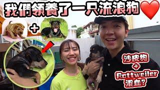我们领养了一只流浪狗,沙皮狗+Rottweiler混血?欢迎来到我们的family!