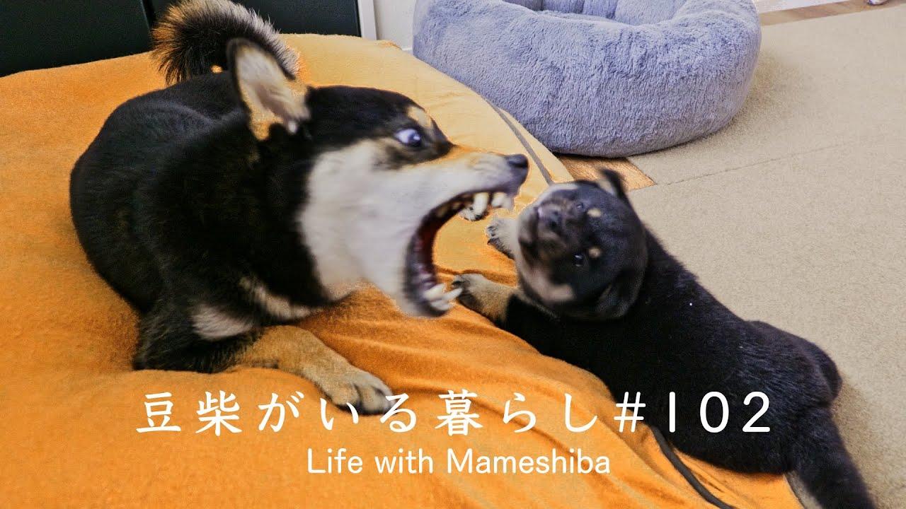 温厚な豆柴ママを本気で威嚇させた子犬はこうなります
