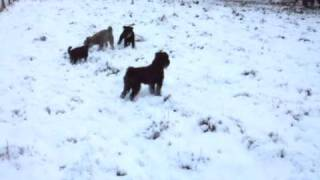Miniature Schnauzers In The Snow Dec 10
