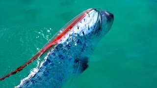 OARFISH rare sighting in shallow waters of California