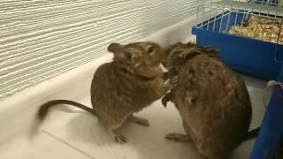 Белки Дегу , самец и самка целуются