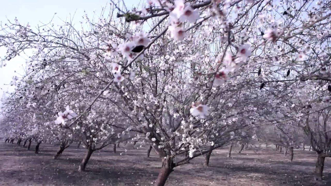 фото как цветёт миндаль