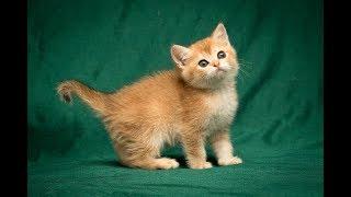 Кошка Gremmy Sweet SunRay Британский котенок черного золотого тикированного окраса