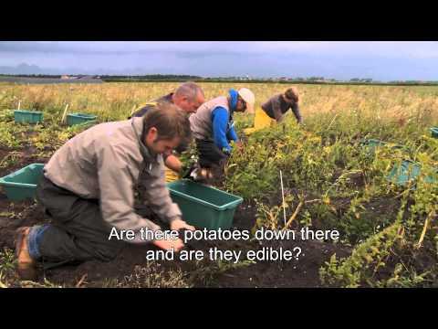 WA Economics Salt water potato farming ENG HD