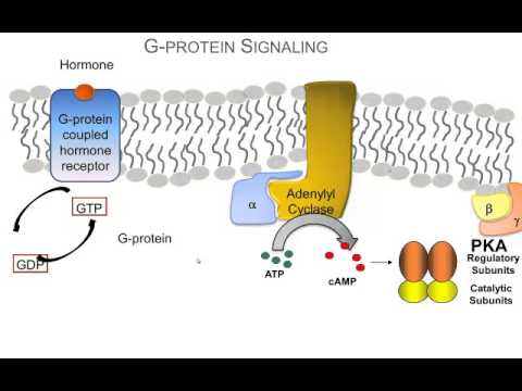 How Hormones Use G-protein Signaling Pathways: A Video Review of the Basics.