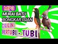 Murai Batu Nembak Cililin Panjang  Mp3 - Mp4 Download
