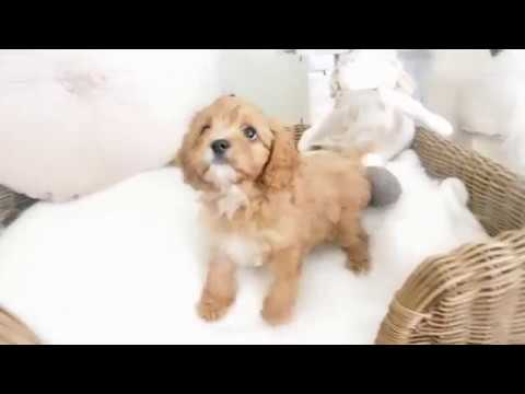 Rain's Toy Cavoodle Girl 7247 - Pocket Puppies