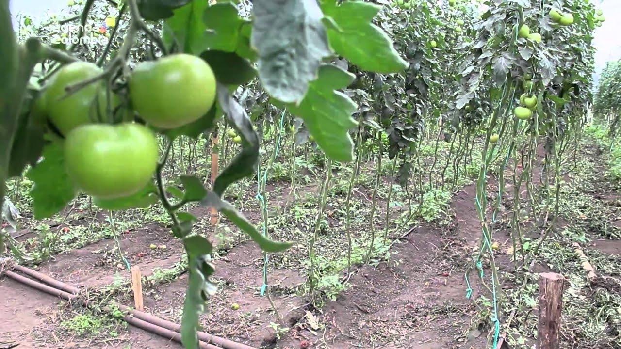 Agricultores crean cooperativa dedicada a la siembra de for Noctuelle de la tomate