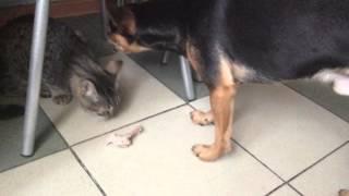 Котёнок Том или глухой , или офигенно смелый!!!