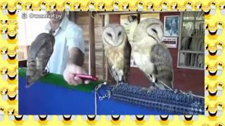 Хохма!    Совы танцуют рэп  Танцующие птицы  Приколы с животными