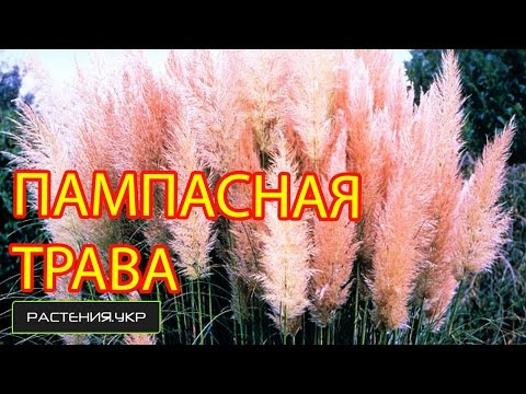 Посев пампасной травы / газонная трава семена