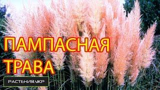 Посев пампасной травы / газонная трава семена(Пампасная трава, или Кортадерия Селло, или Кортадерия двудомная (лат. Cortaderia selloana) — вид злаков рода Кортадер..., 2015-02-17T16:00:01.000Z)