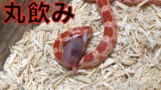 ヘビがネズミを食らう瞬間をご覧ください…2015年11月NG集