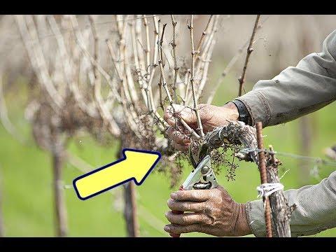 Сделайте это осенью в октябре с виноградом для мощного урожая на следующий год!