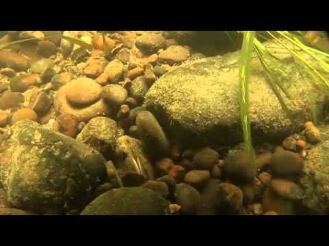 Restoring the Northern Riffleshell Mussel - Allegheny River, Pennsylvania