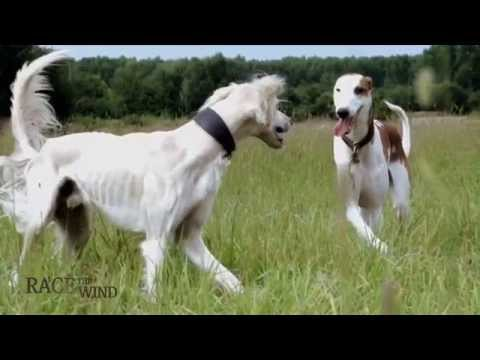RACE THE WIND 20 - Greyhound Relax & Chillout • Saluki Borzoi Galgo Chart Sighthound Dog Levrier