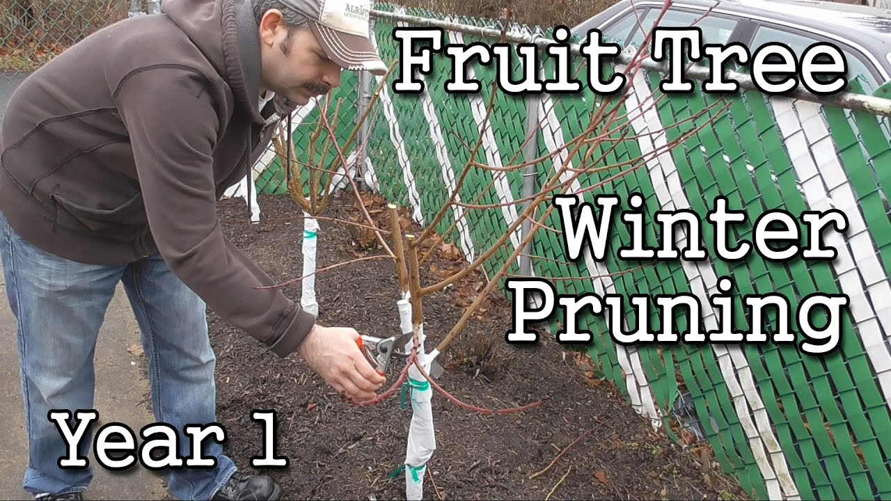 Time Of Year To Prune Fruit Trees Part - 32: Fruit Tree Winter Pruning Year 1 (Backyard Orchard Style)