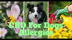 Dogs Allergies: CBD For Dogs With Allergies