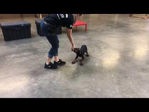 "Super Star Doberman Puppy 13 Wks ""Glitz"" Obedience/Tricks/Agility Dog For Sale"