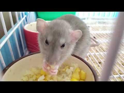 Кого лучше завести Дегу или Крысу?