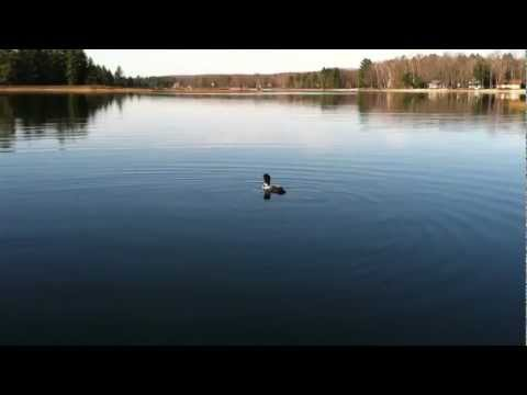 Loons Dive And Court Near Boat