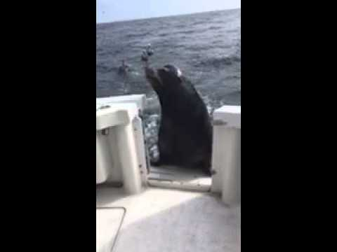 Lisa St. Regis - Giant Sea Lion Goes to Fish Market and Demands Snacks