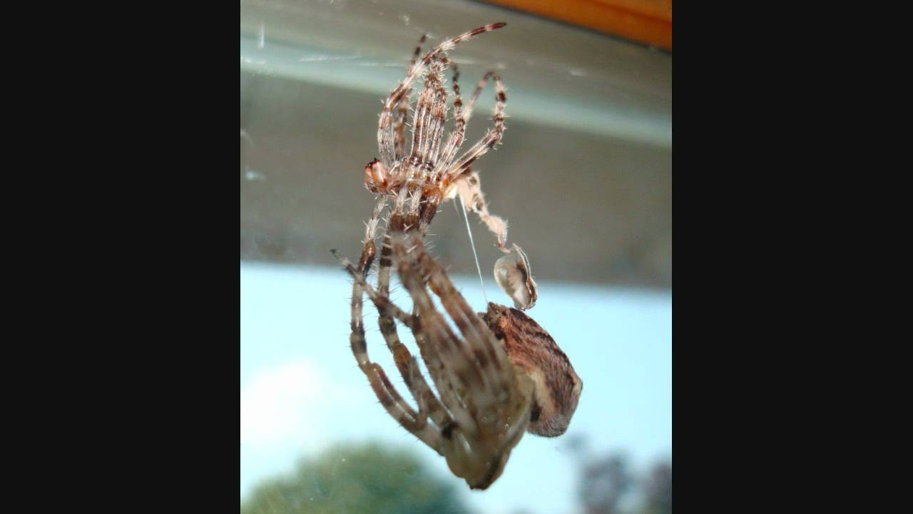 My Cross Spider Shedding Her Skin Youtube