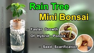Rain Tree For Mini Bonsai From Seed & Seed Scarification - (subtitles available)