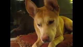rosie dog sings opera to jg wentworth too freaking funny