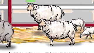 Bonnes et meilleures pratiques pour le transport des moutons