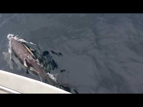 Dolphins in the Cantabric Sea