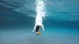 Border Collie Pit Bull Terrier Mix Coco Swims & Dives Underwater In Swimming Pool For Her D