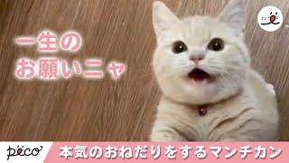 本気のおねだりをするマンチカンの子猫ちゃん ♡ 【 PECOTV 】